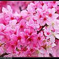 2016.04.04.台北市區「永靜公園」櫻花by Pentax X-G1