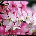2016.04.04.台北市區「永靜公園」櫻花by Nikon D5000