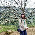 三峽熊空櫻花林花況分享