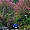 2017櫻花季