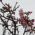 2010/03/13 淡水天元宮賞櫻花