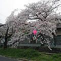 處處是櫻花