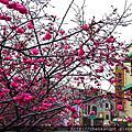2014櫻花季