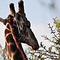 史瓦濟蘭 @ Mbuluzi Game Reserve (2010.05.22)