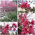 2012-02-06 中原教堂前櫻花