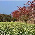台南高鐵木棉花