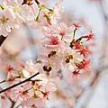 花見in Taiwan