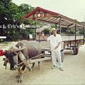 竹富島。遊。朝の水牛車散步