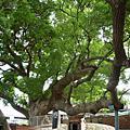 苗栗公館--鶴岡村夫妻樹
