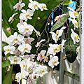 蝴蝶蘭原生種--P.philippinensis