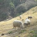 20090214_清境農場之羊咩咩我來了