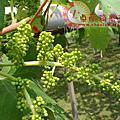 葡萄の生長過程(上)