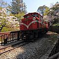 110324 阿里山櫻花季