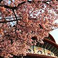 【喵腳印】台北‧2011 淡水天元宮櫻花季