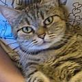 貓ㄋㄧㄠ咪醬