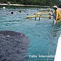 菲律賓宿霧OSLOB鯨鯊
