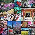 20130214-16_[露營] 武陵農場。櫻花季