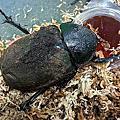 甲蟲飼育寫真
