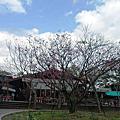 初鹿櫻花季