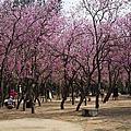 42.台南公園羊蹄甲 (2013.03.16)