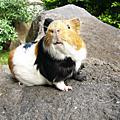 20090516新竹豬聚