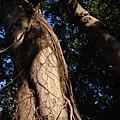 台中市老樹