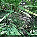 水稻田雜草管理