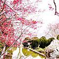 2013看櫻花囉!!
