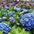 2018.05.22_陽明山-大賞園繡球花田