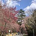 武陵農場櫻花季_2020.02.09