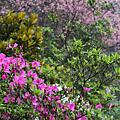 春櫻‧杜鵑