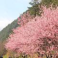2012.02.19武陵櫻花季