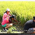 2013龍金歲月割稻工作假期
