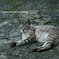 20090530 侯硐貓