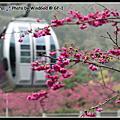 2011.2.12九族櫻花季