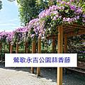 鶯歌永吉公園蒜香藤