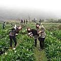 陽明山採海芋