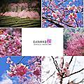 2014。武陵農場『桜』