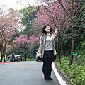 110305 三芝櫻花季