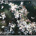 101-0428桃園大溪桐花花況