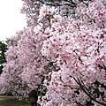 2008春,花見:新宿御苑