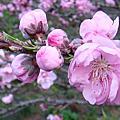 2010年3月去富野武陵農場尋找桃花源