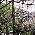大板根櫻花盛開中