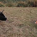 擎天崗牧牛