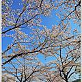 日本櫻花 相模湖櫻花