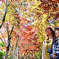 宜蘭太平山槭紅