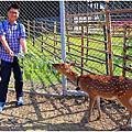 嘉義逐鹿部落餵梅花鹿