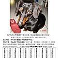 2009.09.02新竹市竹蓮國小走失黑色臘腸犬Amigo