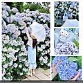 陽明山竹子湖花與樹繡球花