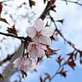 北海道櫻花之旅